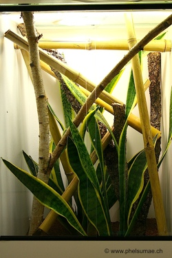 Phelsuma pronki adult enclosure