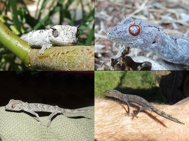 Strophurus Spiny-tailed Gecko