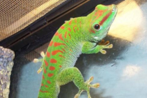 Three to Get Ready: Phelsuma grandis