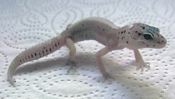 Leopard Gecko Morph Special: The Ghost - Gecko Time - Gecko Time
