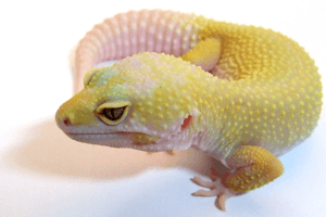 Gecko Breeder Interview: Nico Pietrzyk