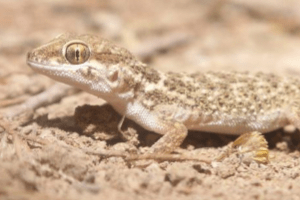 Interview with Karsten Griesshammer: Field Herping In Iran