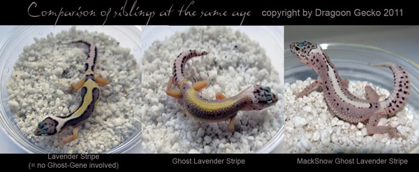Leopard Gecko Color Fading - Best Image of Leopard 2018