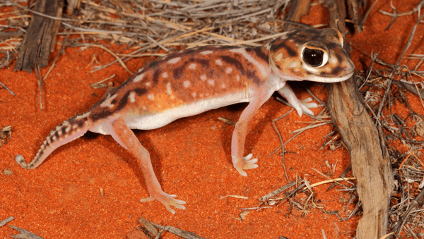 Nephrurus deleani - Pernatty Lagoon Knob-tail Gecko.indexed