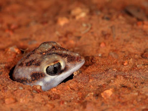 Rhynchoedura ormsbyi - Beaked Gecko