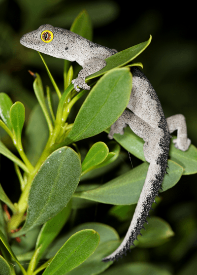 Strophurus spinigerus - Soft Spiny-tailed Gecko.indexed