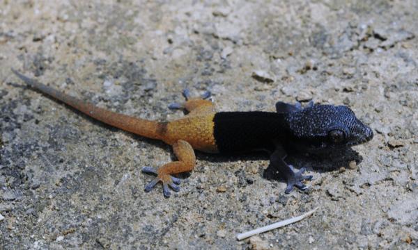 Pachydactylus sp. - juvenile Epupafalls