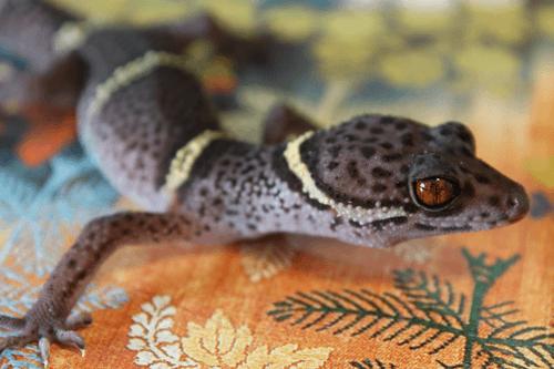G. hainanensis, Hainan cave gecko