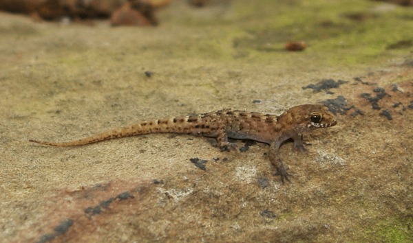 Bynoe s gecko parthenogenesis asexual reproduction