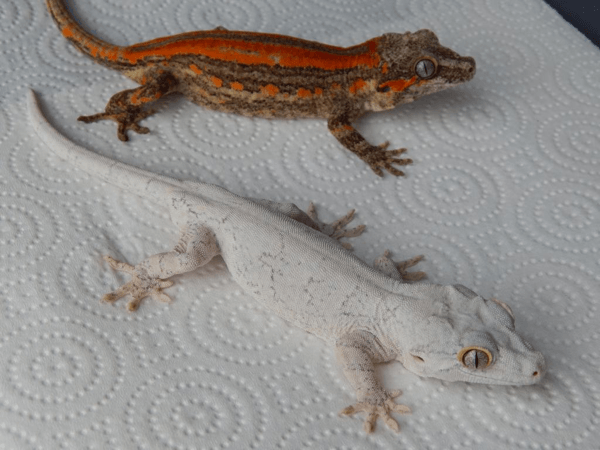 Red and white gargoyle geckos