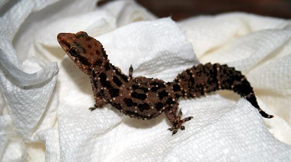 Hemidactylus ruspolii