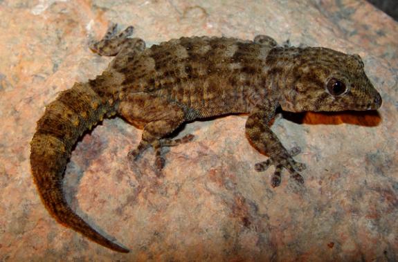 Tarentola gomerensis - female