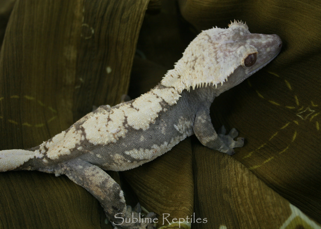 crested-gecko-light & Some Thoughts About Crested Gecko Breeding - Gecko Time - Gecko Time azcodes.com