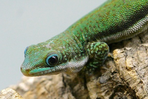 Guide to Phelsuma malamakibo