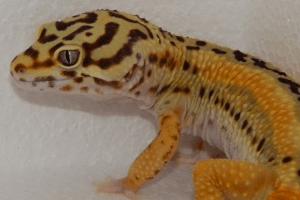 Creating a Leopard Gecko Reverse Stripe Bandit