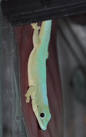 Phelsuma robertmertensi