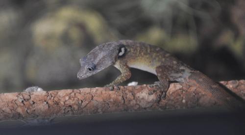 Sphaerodactylus vincenti
