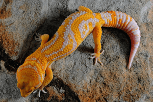 Book Review: The Leopard Gecko Advisor