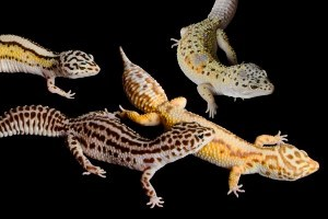 Two Decades as a Gecko Breeder