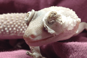 Eyelid Dysecdysis in Leopard Geckos