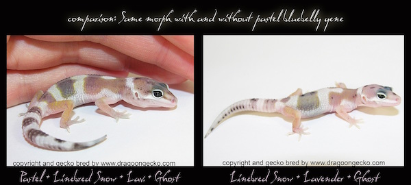 Leopard Gecko Morph Special: the New Bluebelly Pastel Gene