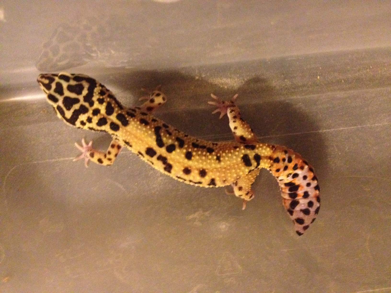 Gecko hatchlings with problems part 1 gecko time gecko time regenerated tail nvjuhfo Images