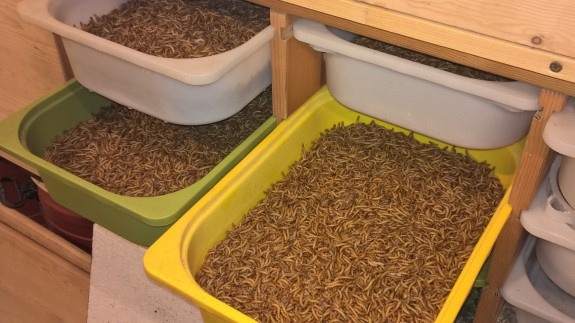 15 pounds of mealworms ready for sale
