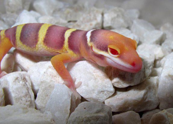 Noir Désir - The New Recessive Trait with Leopard Geckos