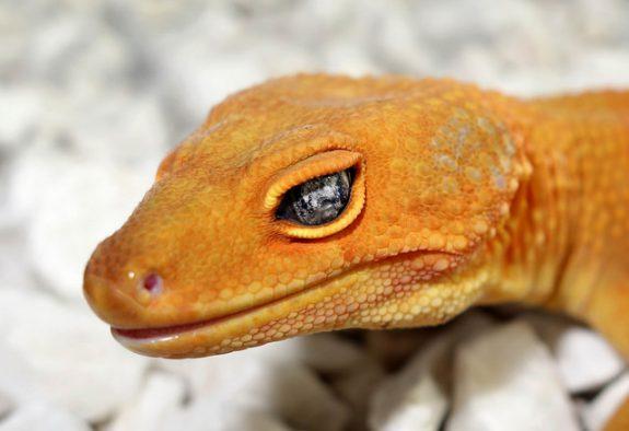 Noir Désir - The New Recessive Trait with Leopard Geckos - Gecko
