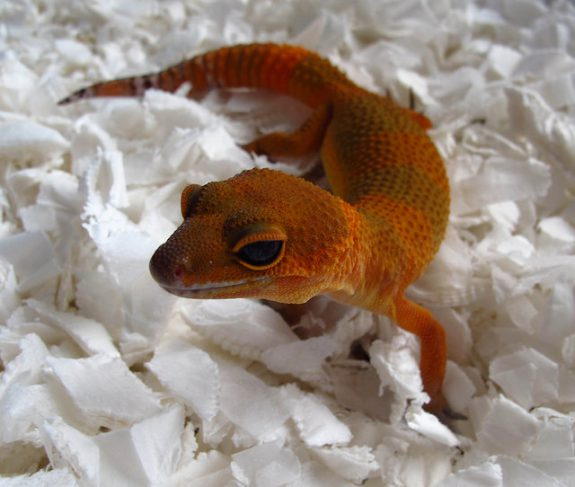 Mandarine Tangerine Noir Desir female showing much darker overall appearance