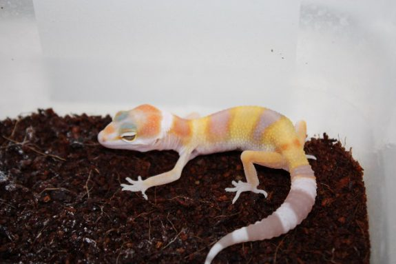 W&Y Tremper Albino hatchling (few days old)