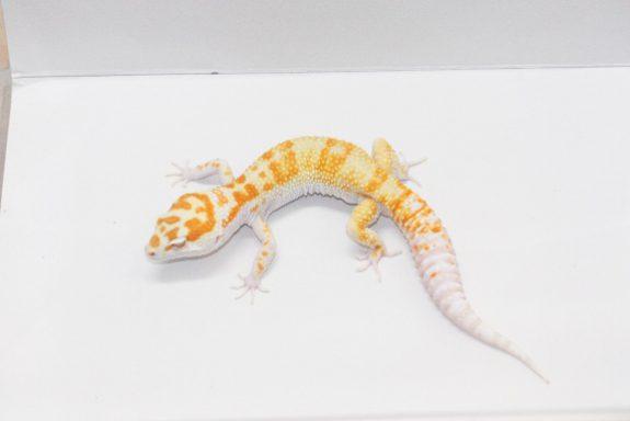 Banded W&Y Tremper Albino