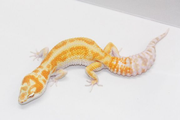 Striped W&Y Tremper Albino