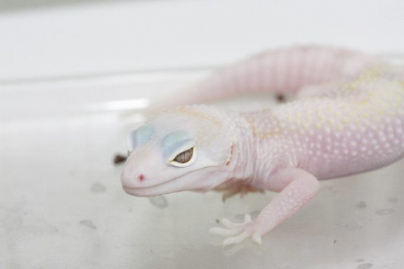First W&Y Mack Snow Tremper Albino